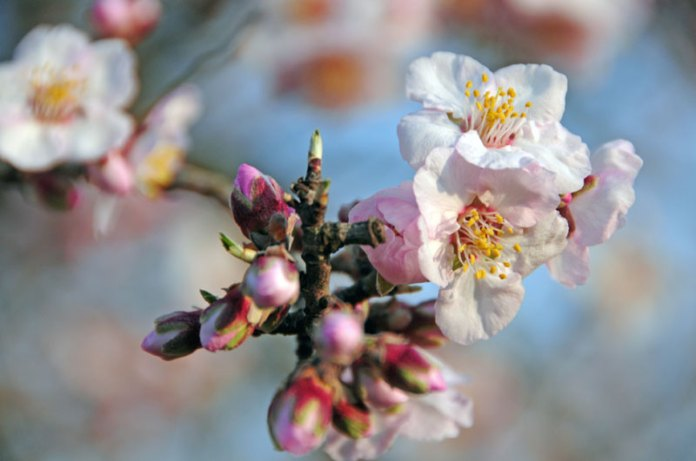 Flowered Almond, photo by Francesc Toldrà http://www.hidb.es